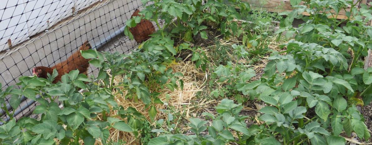 permaculture et poules